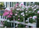 """Ngất ngây trước vẻ đẹp của những """"ngôi nhà hoa hồng"""""""